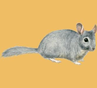 Recueillir un rongeur d'espèce chinchilla