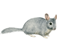 Chinchilla ##STADE## - robe 1