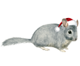 Chinchilla adulte - robe 117
