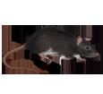 Rat gris ##STADE## - robe 1340000005