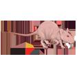 Rat gris ##STADE## - robe 1340000006