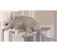 Rat gris bébé - robe 52