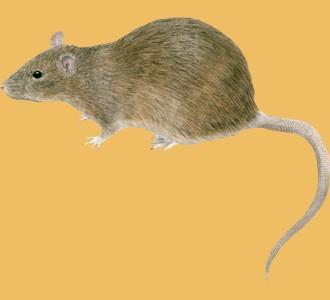 Recueillir un rongeur d'espèce rat gris