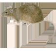 Rat gris adulte - robe 52