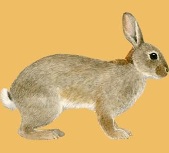 Recueillir un rongeur d'espèce lapin de garenne