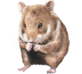 Hamster doré bébé - robe 39