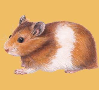 Recueillir un rongeur d'espèce hamster doré