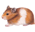 Hamster doré adulte - robe 39