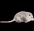 Opossum d