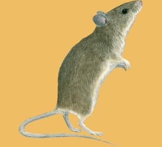 Recueillir un rongeur d'espèce souris
